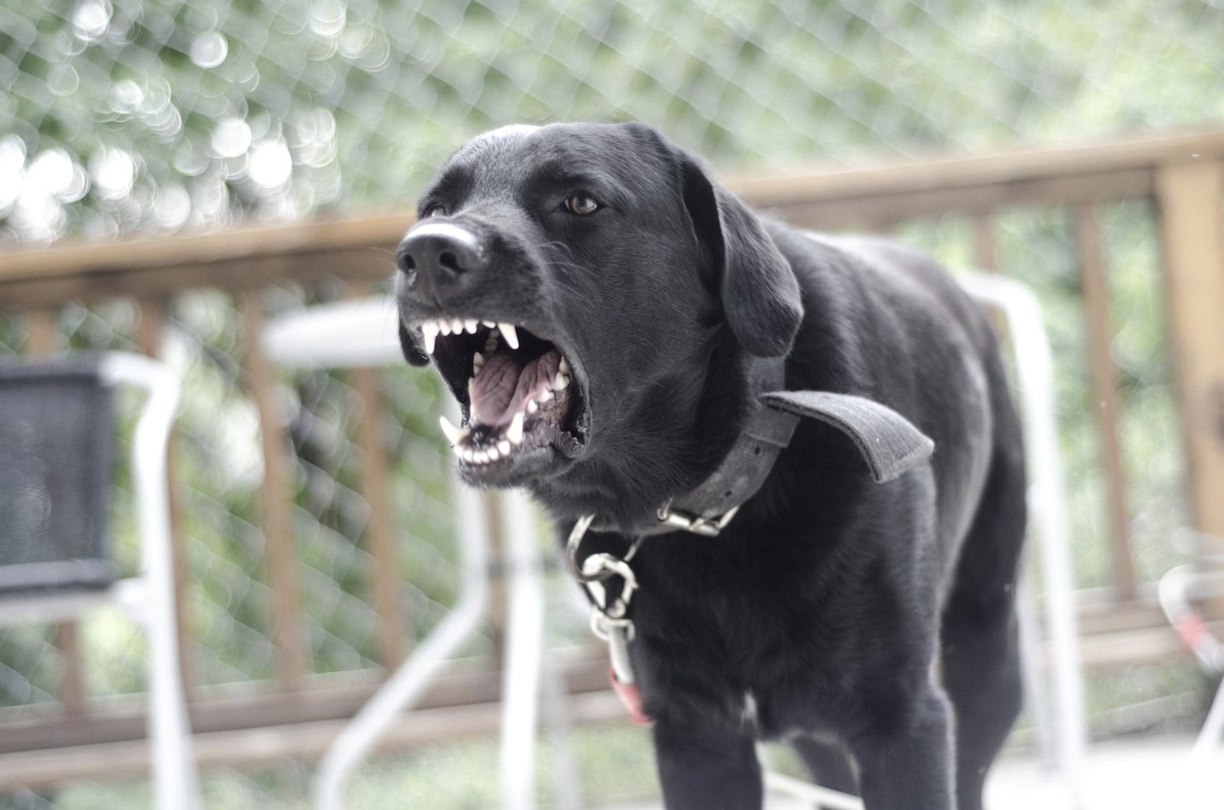 Black Dog Barking At The Camera Stock Photo